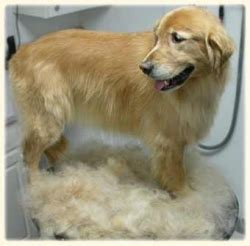 golden retriever shedding 2013 may golden retriever rescue of southern maryland
