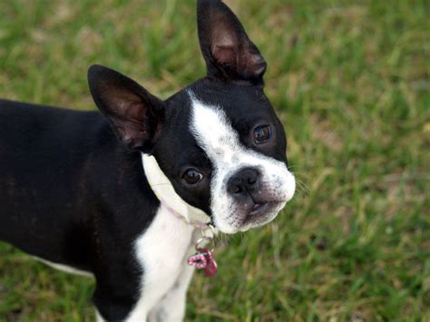 terrier puppies for free free boston terrier puppies 7 widescreen wallpaper dogbreedswallpapers