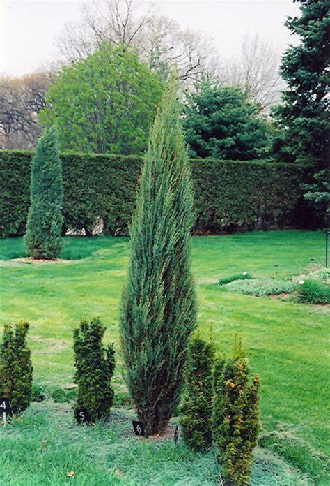 blue arrow juniper juniperus scopulorum blue arrow