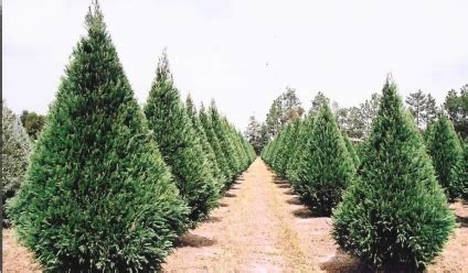 buying and caring for your christmas tree matthews landscape