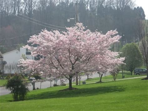 akebono flowering cherry yelp