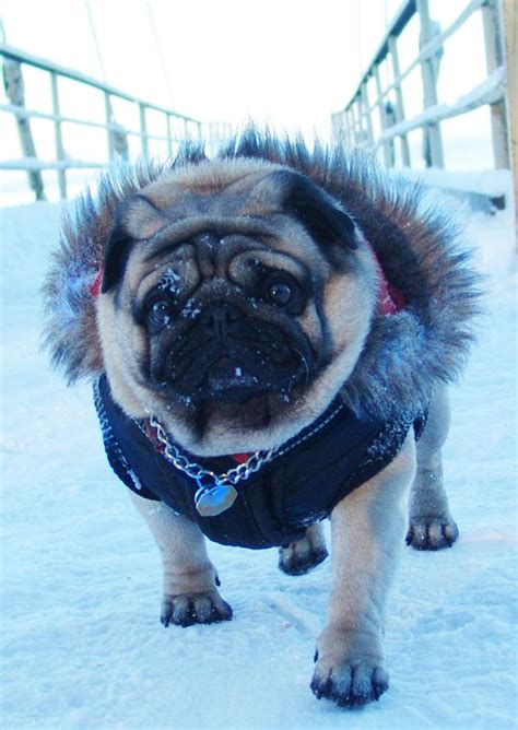 clothes with pugs on dogs in clothes pug puppy pugs age the o jays and pug