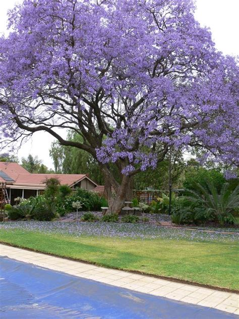 best flowering tree for front yard jacaranda tree grows well in central per a m