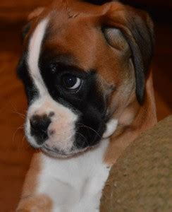 Boxer Import Shnn 001 pricing mountain crest boxers boxer puppies for sale