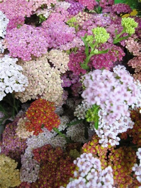 Yarrow Cottage by Cottage Yarrow Mix July Flowers