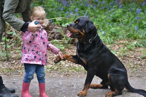 average expectancy rottweiler 25 best ideas about rotties with on rottweiler puppies for sale