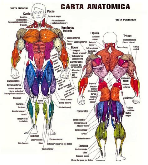 imagenes virtuales del cuerpo humano m 225 s de 25 ideas incre 237 bles sobre musculos del cuerpo en