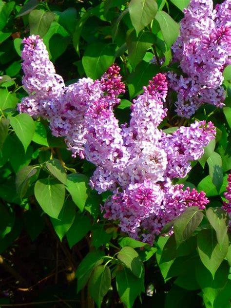 purple lilacs common purple lilac for sale treetime ca
