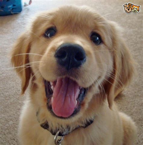 golden retriever puppy wanted golden retriever puppy wanted southton hshire pets4homes