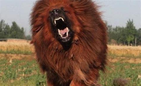 barking african lions  china zoo   women