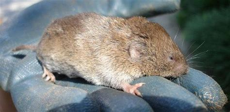 Garden Mouse by How To Deal With Voles Field Mice In Your Yard Or Garden