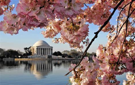 Officials predict peak bloom for D.C. cherry trees