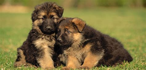 german shepherd puppies for sale in nj german shepherd for sale new jersey dogs our friends photo