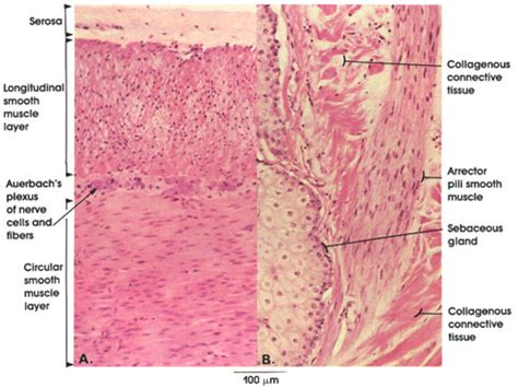 longitudinal section of the skin plate 5 83 smooth muscle