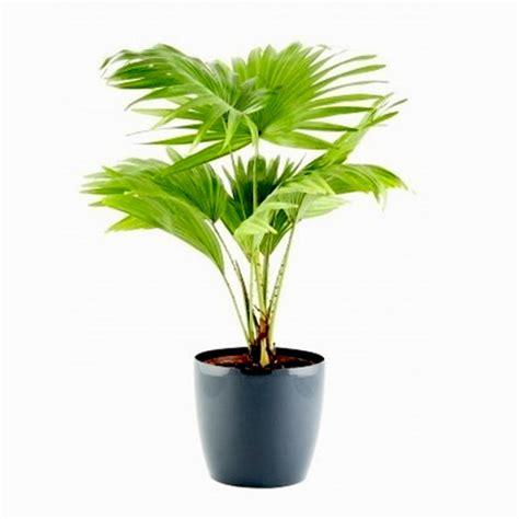 table palm umbrella palm plant nursery