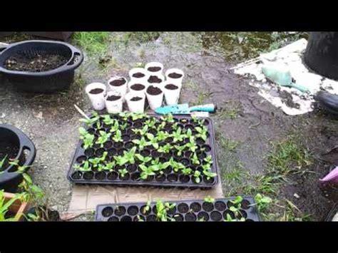 Bibit Terong Pokak cara menanam tanaman mint di pot polybag aigarden doovi
