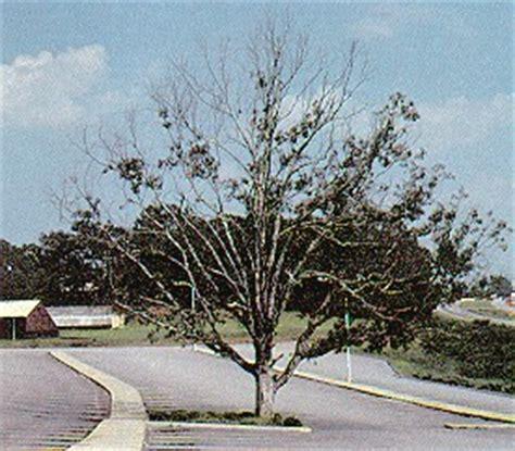 maple tree decline tree decline