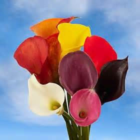 colored calla premium assorted color mini calla lilies
