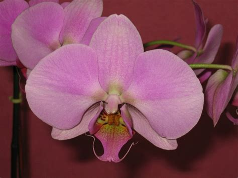 moth orchids how to care for your phalaenopsis moth orchid a step by step photo guide