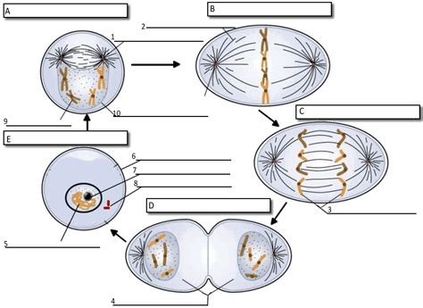 mitosis coloring sheet reading notes cell cycle label