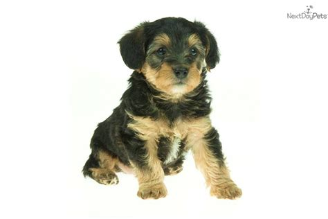 yorkie poo puppies for sale indiana yorkie poo puppies for sale in toronto ontario wallpaper breeds picture