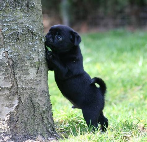 how much are black pug puppies 1000 ideas about black pug on pugs pug puppies and pugs