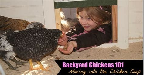 Backyard Chickens 101 Moving Chickens From Brooder To Backyard Chickens 101