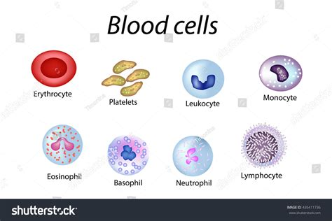 what color are platelets blood cells set colored cells stock vector 435411736
