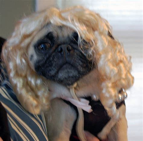 pug with wig pugs in wigs page 2