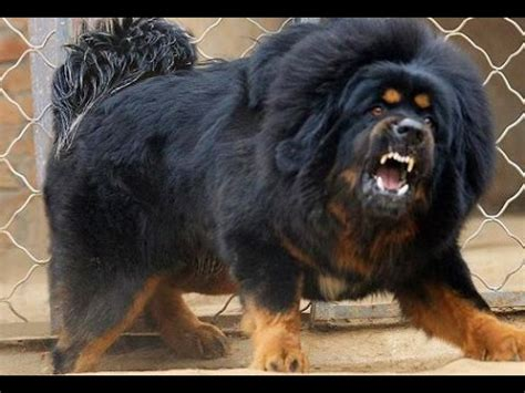 top 10 dangerous dog breeds in the world top 10 most dangerous dogs in the world youtube