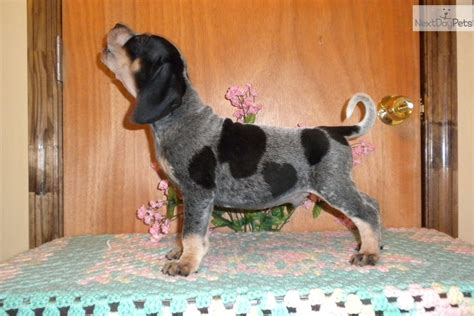 bluetick puppy bluetick coonhound for sale for 400 near augusta 1377dd51 2421