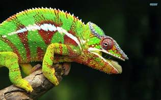 chameleon color interesting fact about chameleon tell you all