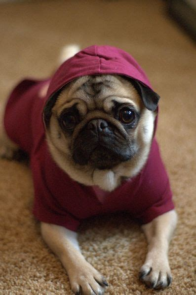 why do pugs breathing problems 17 best ideas about chug on pug chihuahua mix pug mix and chugs
