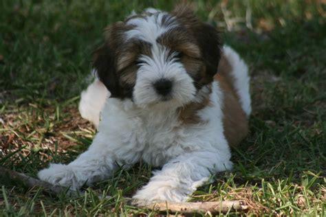 tibetan terrier puppies tibetan terriers breeds picture