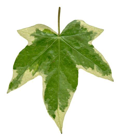high resolution maple leaf deviantart image gallery ivy leaf