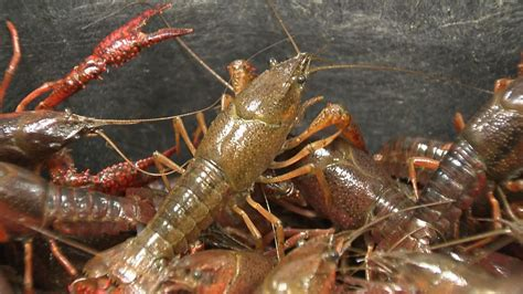 Mobile Home Plans by Crazy For Crawfish Season Gets Off To Early Start
