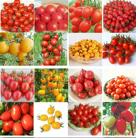 1 Pack Biji Tanaman Tomat Cherry Mix Color Mini Pouch Maica Leaf 200 Pcs 24 Kinds Of Tomato Seeds Pack Mix Black
