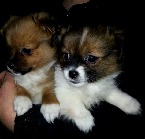 pomeranian and shih tzu puppies pomeranian shih tzu puppies puppies puppy