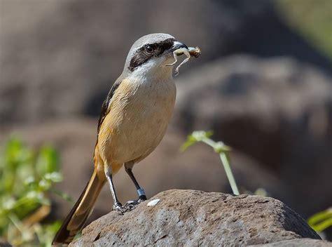 Ulat Jerman Pakan Unggas Ular Dan Ikan 13 fooding alternatif untuk burung kicauan klub burung