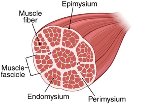 skeletal muscle cross section small intestine cross section diagram labeled small