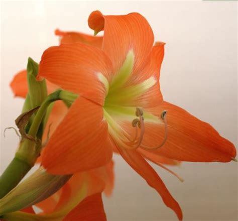 tanaman amaryllis orange