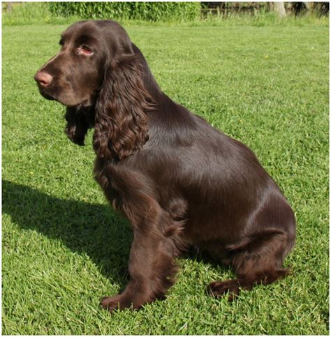 Spaniel Shedding by Field Spaniel Facts Pictures Breeders Puppies