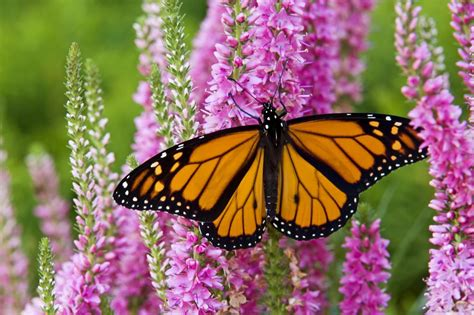 monarch butterfly monarch butterfly wallpapers wallpaper cave