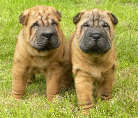 shar pei puppies babies available gorgeous shar pei now only one boy available horley surrey pets4homes