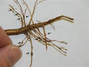Crop Plant Diseases - fall sampling for nematodes in agronomic crops 187 panhandle agriculture