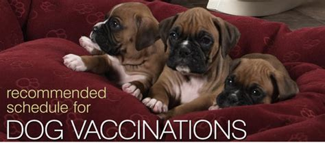 vaccination schedule for dogs dogs vaccination schedule