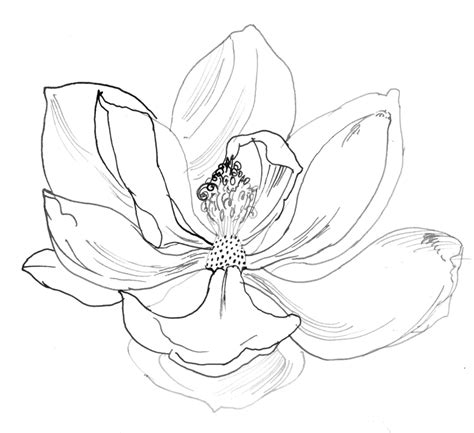 coloring pages of magnolia flowers image gallery magnolia drawing