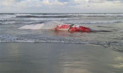 bagno versilia lido di camaiore antenna 3 187 carcassa di balenottera spiaggiata a lido di