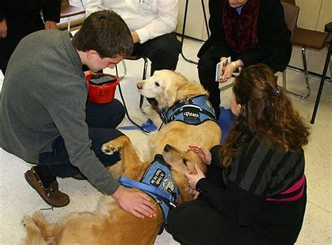 golden retrievers newtown ct golden retrievers help newtown mourners deal with their grief