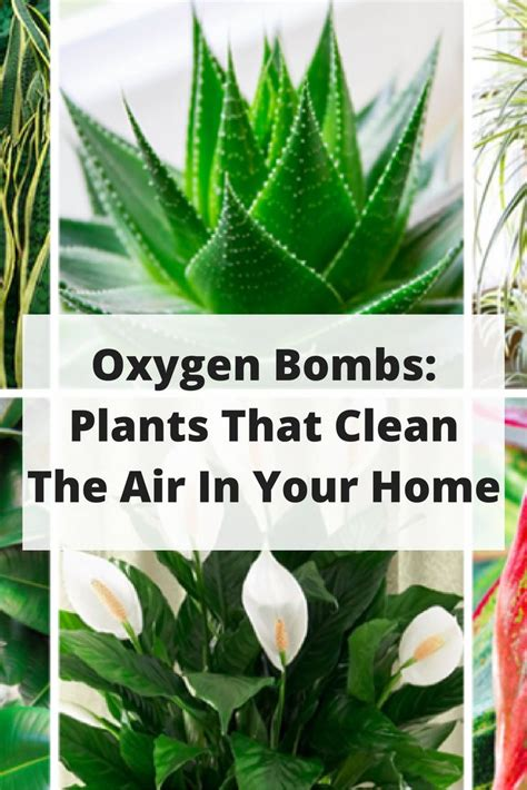 best indoor plants for oxygen these plants are oxygen bombs they clean the air in your